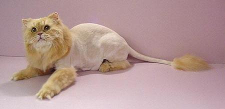 Стрижка перса под льва фото