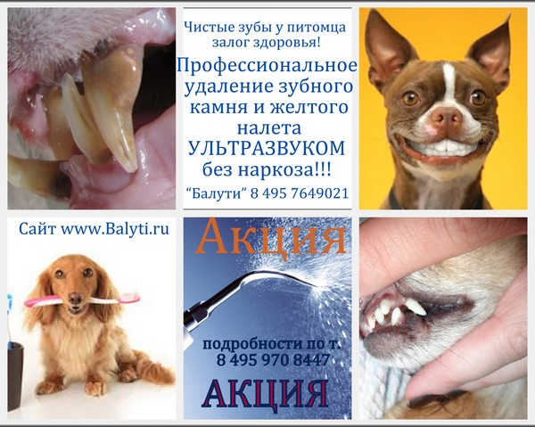 Чистка зубов от зубного камня собакам цена