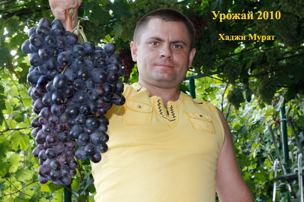 виноград мерседес описание сорта фото