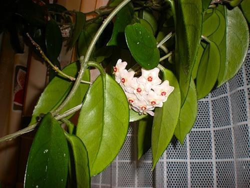 Что за цветок мужегон,как он выглядит?