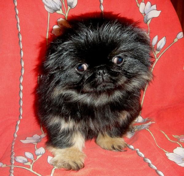 обижайтесь, вам щенок пекинеса черного окраса фото неудач