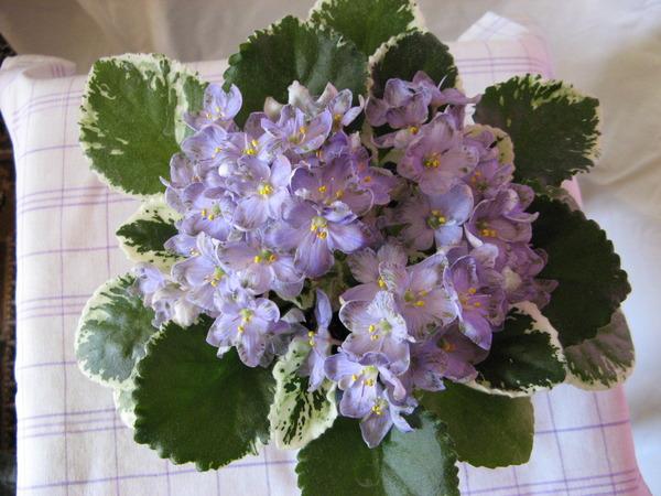 Нескольких цветов, сенполия ле-весенний букет
