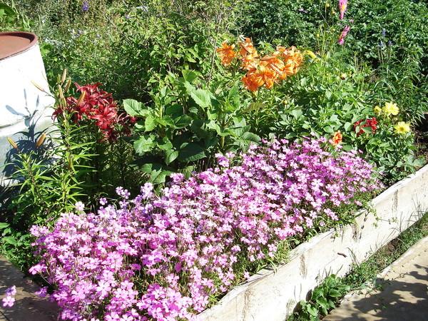 22-01-2012 01:57.  Хочу показать однолетник вискария можно сеять прямо в грунт,цветет до морозов,,дает семена,собираю...