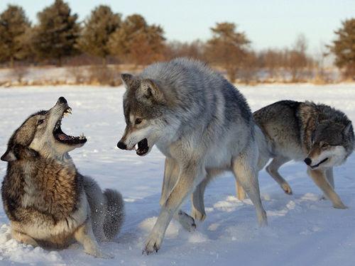 Кто сильнее волк или собака