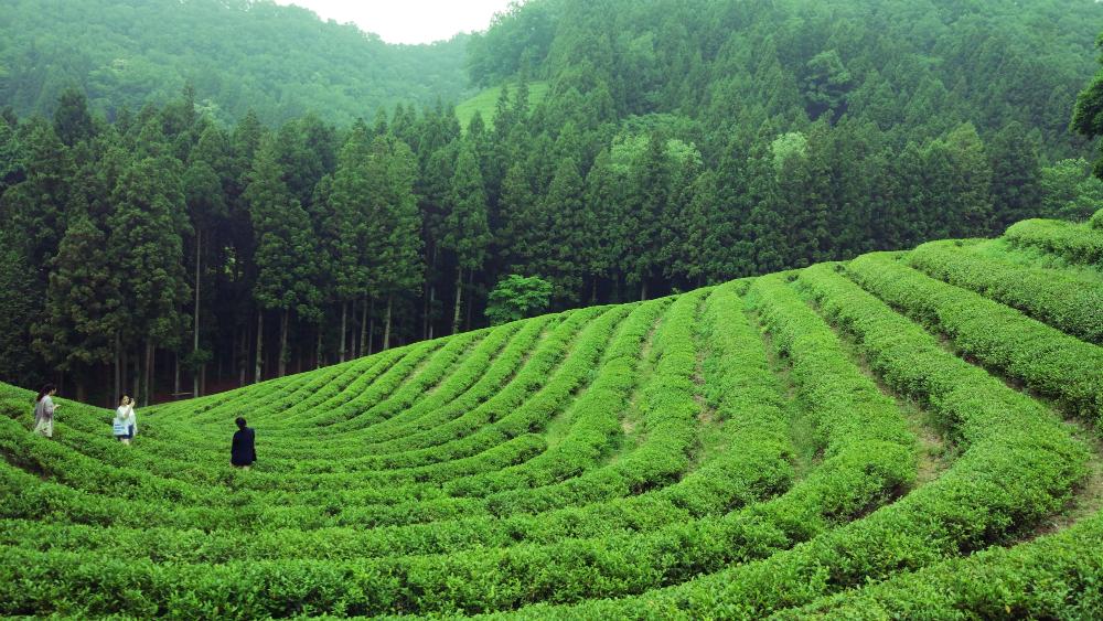 Boseong tea
