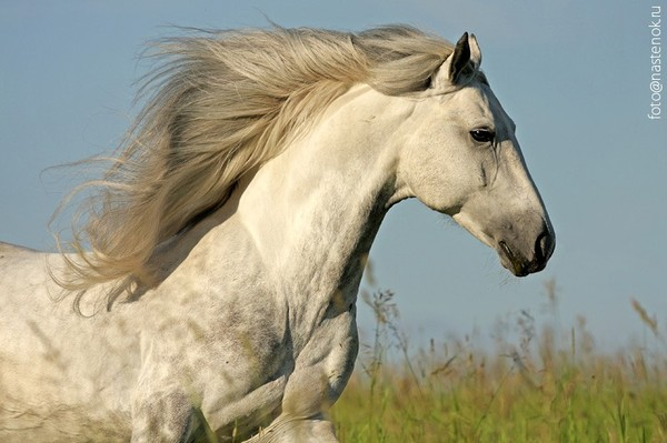 White horse with black mane
