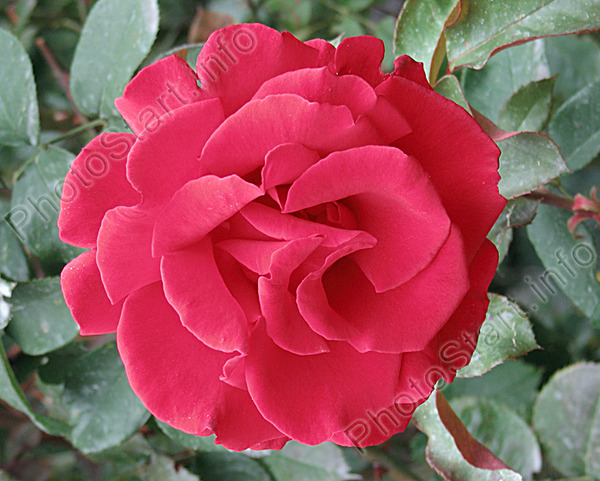 роза фонтейн плетистая очень пунктуальны ожидают