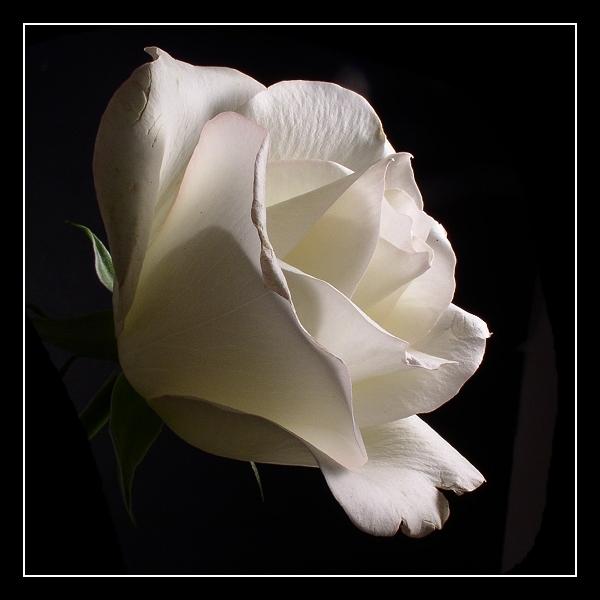 белая роза знакомства красная любовь желтая