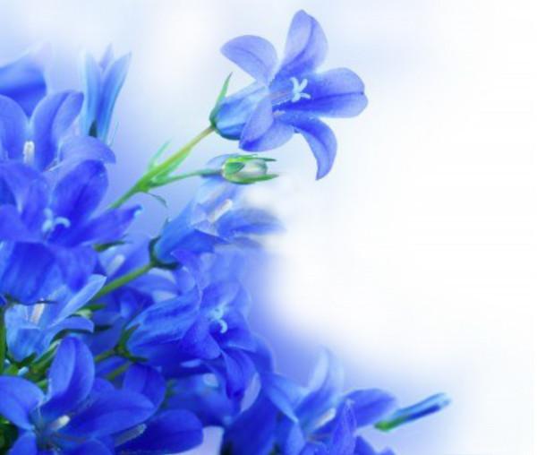 Цветы голубые на белом фоне