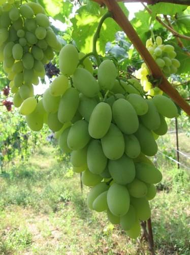 Характеристика и выращивание высокоурожайной вишни Малиновка 953